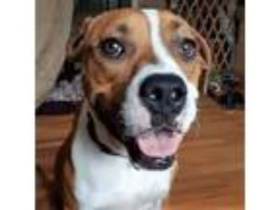 Adopt Lucy a Boxer