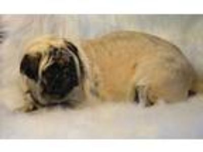 Adopt Dell a Tan/Yellow/Fawn Pug / Mixed dog in Madison, KS (25576466)