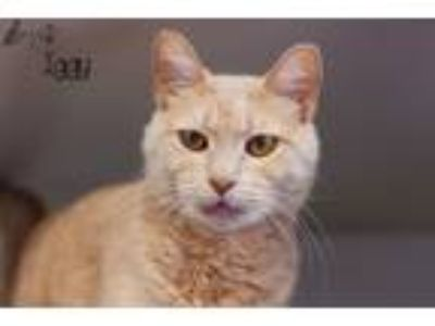Adopt Iggy a Domestic Short Hair