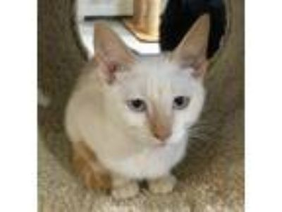 Adopt Gizmo and Furby a Siamese, Domestic Short Hair