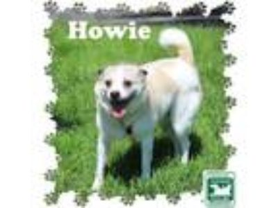 Adopt Howie a White - with Gray or Silver Shiba Inu / Mixed dog in Fallston