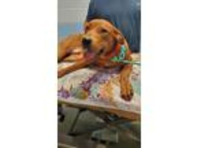 Adopt Red 2/2 a Hound (Unknown Type) / Pit Bull Terrier / Mixed dog in Detroit