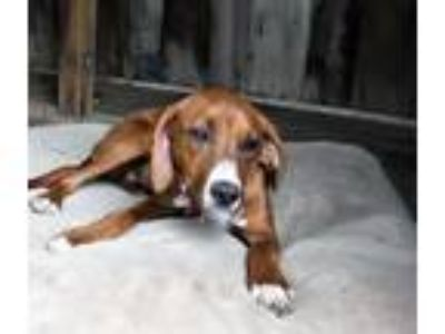 Adopt Snow White (3yo, 30lbs) a Hound (Unknown Type) / Mixed dog in Hinton