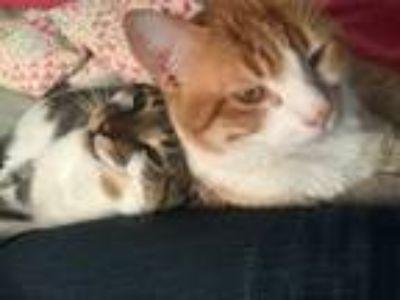 Adopt Titan a Black & White or Tuxedo Calico / Mixed cat in Harrison Township