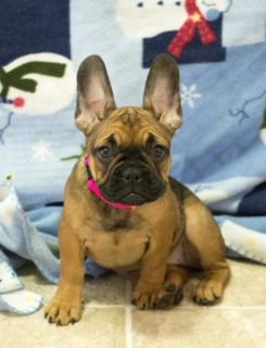 French Bulldog PUPPY FOR SALE ADN-102454 - Bonnie