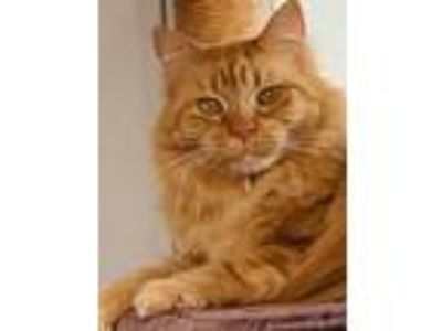 Adopt Andrea a Domestic Long Hair, Tabby