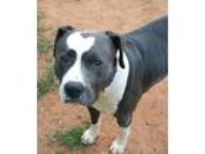 Adopt Joe a Gray/Silver/Salt & Pepper - with White Pit Bull Terrier / Mixed dog