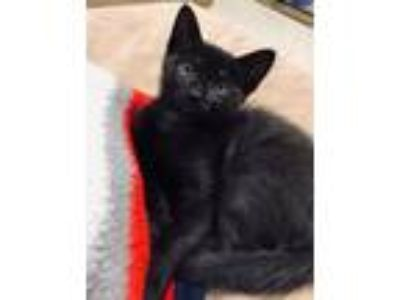 Adopt Bongo a Domestic Short Hair