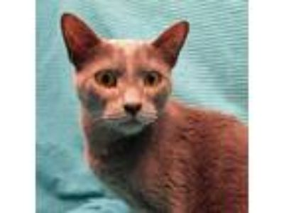 Adopt Freddie a Gray or Blue Russian Blue / Domestic Shorthair / Mixed cat in