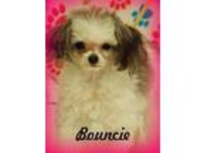 Adopt Bouncie a White - with Gray or Silver Toy Poodle / Mixed dog in Anaheim