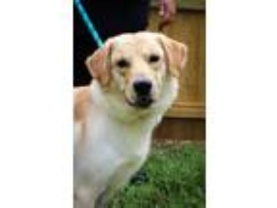 Adopt Axel a Tan/Yellow/Fawn Golden Retriever / Mixed dog in Martinsville