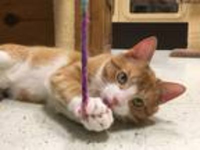 Adopt Henry a Tiger Striped Domestic Shorthair (short coat) cat in Huntley