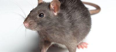 Rat Control Service Manchester