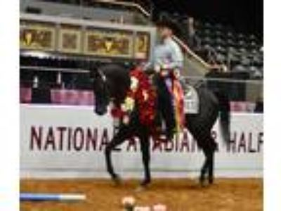 Gorgeous 2015 Homozygous Black Purebred Arabian Stallion