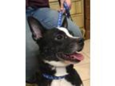 Adopt Pixie a Boston Terrier, Hound