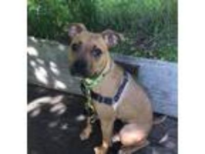 Adopt Chicken Wing a American Pit Bull Terrier / Mixed dog in Pittsburgh