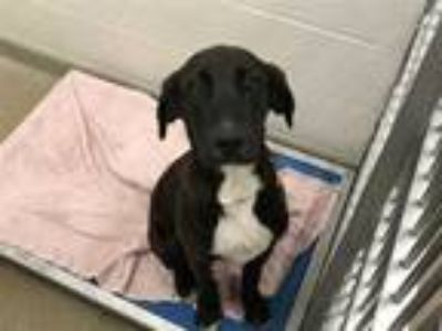 Adopt CHASE a Black - with White Labrador Retriever / Black and Tan Coonhound /