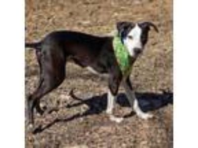 Adopt Wick a Whippet, Hound