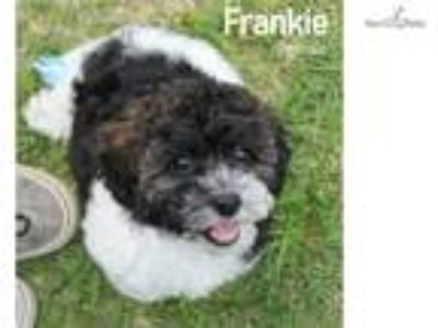 Frankie Beautiful Female Goldendoodle puppy!