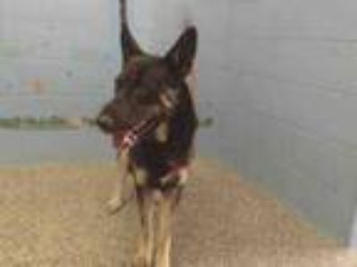 Adopt A525574 a German Shepherd Dog
