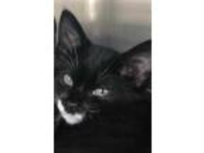 Adopt Merlo a All Black Domestic Shorthair / Domestic Shorthair / Mixed cat in