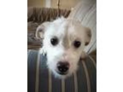 Adopt Scruffy a White Terrier (Unknown Type, Medium) dog in Highlands Ranch