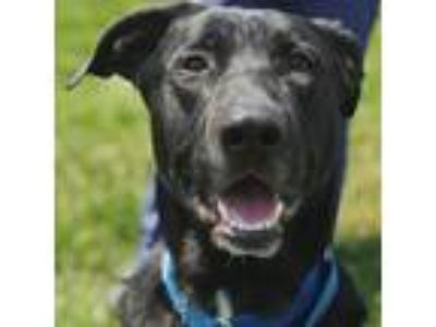 Adopt Billy a Black - with White Shepherd (Unknown Type) / Mixed dog in Wheaton