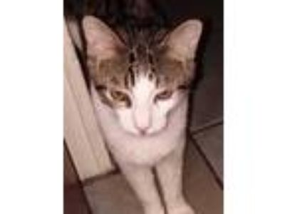 Adopt Tom a Spotted Tabby/Leopard Spotted Domestic Shorthair / Mixed cat in
