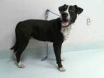 Adopt BOOGIE a Black - with White Boxer / Mixed dog in Pasadena, TX (25169268)
