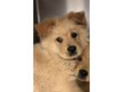 Adopt Kai a Shepherd, Golden Retriever