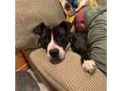 Adopt Bruno Rocky H Wilson - a dapper guy! a Pit Bull Terrier
