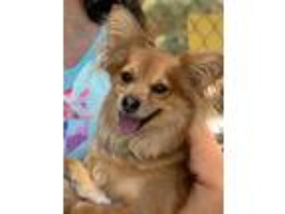 Adopt CLYDE a Tan/Yellow/Fawn - with White Pomeranian / Mixed dog in Palm