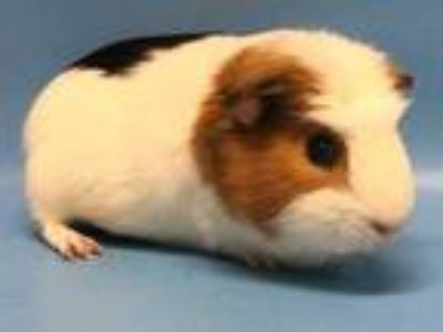 Adopt Earl a White Guinea Pig / Mixed small animal in St. Paul, MN (25893759)