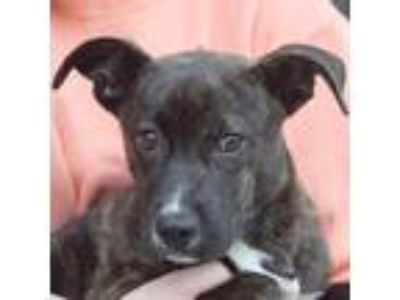 Adopt Allison a Brindle Dutch Shepherd / American Staffordshire Terrier / Mixed