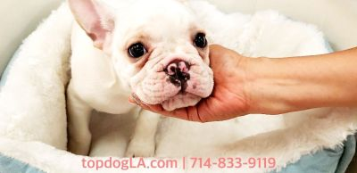 French Bulldog Puppy - Male - Frenchee ($2,899)