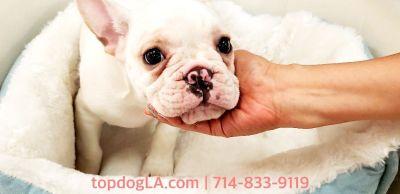 French Bulldog Puppy - Male - Frenchee ($2,899)