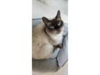 Adopt Duke a Gray or Blue Balinese / Domestic Shorthair / Mixed cat in