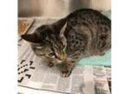 Adopt Athena a Brown or Chocolate Domestic Shorthair / Domestic Shorthair /