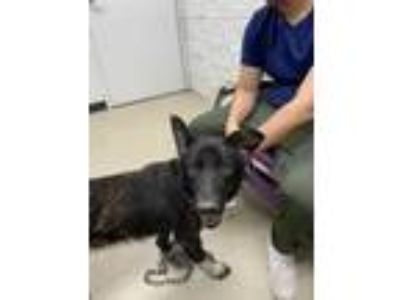 Adopt 41945613 a Black Shepherd (Unknown Type) / Mixed dog in Fort Worth