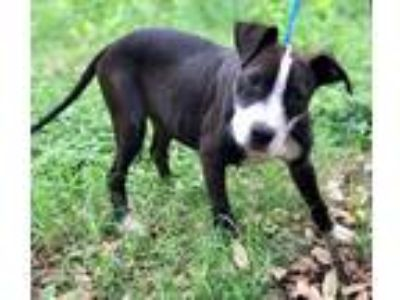 Adopt RIZZO a Black - with White American Staffordshire Terrier / Mixed dog in