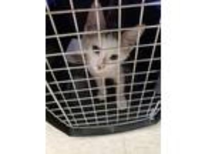 Adopt Jasper Jewel a White Domestic Shorthair / Domestic Shorthair / Mixed cat