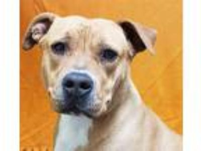 Adopt GRETTA a Tan/Yellow/Fawn American Pit Bull Terrier / Mixed dog in