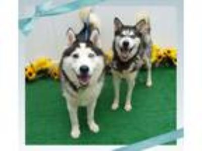 Adopt ALASKA & SCOUT a Black - with White Siberian Husky / Husky / Mixed dog in