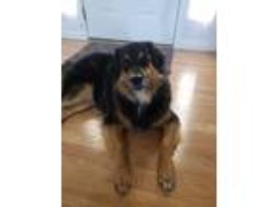Adopt BEAR a Black - with Tan, Yellow or Fawn Australian Shepherd dog in