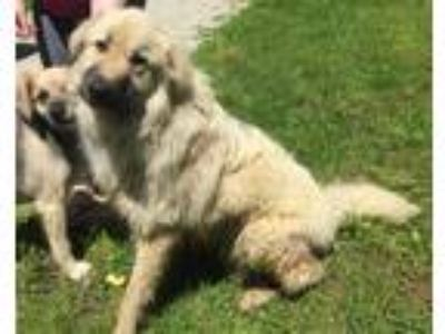 Adopt Cotton a Great Pyrenees