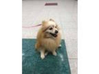 Adopt Lance a Red/Golden/Orange/Chestnut Pomeranian / Mixed dog in Dartmouth