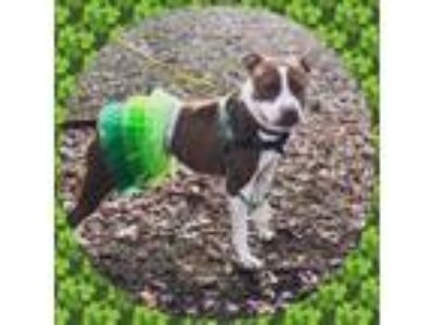 Adopt Greta a Pit Bull Terrier