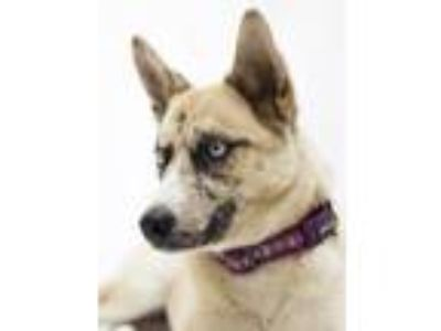 Adopt Focus a Siberian Husky, Cattle Dog