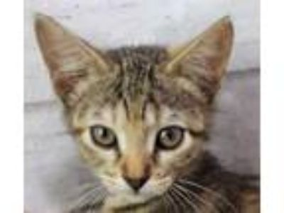 Adopt Strip a Gray or Blue Domestic Shorthair / Domestic Shorthair / Mixed cat