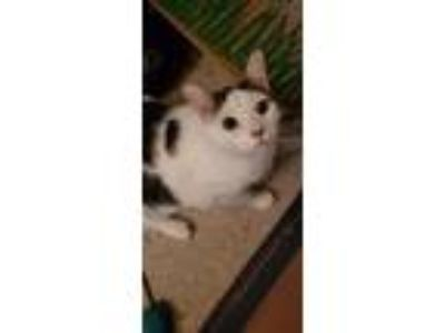 Adopt Sammy a White (Mostly) American Shorthair / Mixed cat in Independence